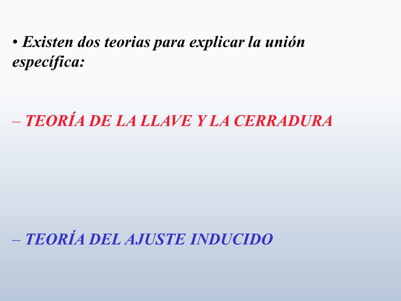 • Existen dos teorias para explicar la unión específica: