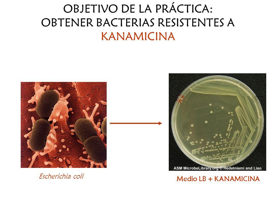OBJETIVO DE LA PRÁCTICA: OBTENER BACTERIAS RESISTENTES A KANAMICINA