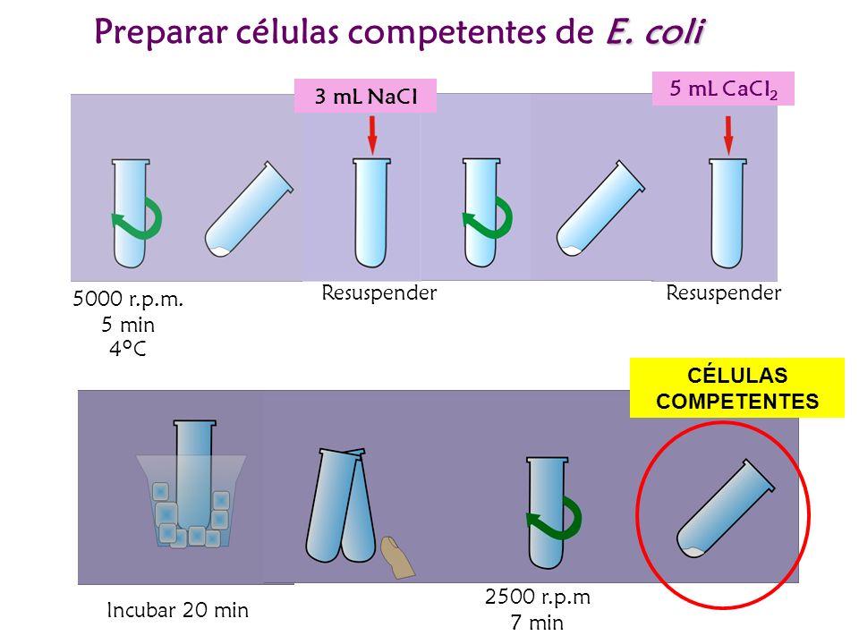 Preparar células competentes de E. coli