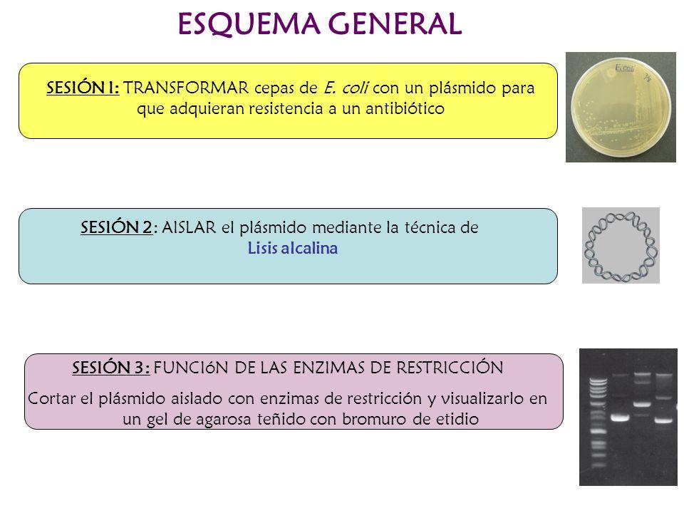 ESQUEMA GENERAL SESIÓN I: TRANSFORMAR cepas de E. coli con un plásmido para que adquieran resistencia a un antibiótico.
