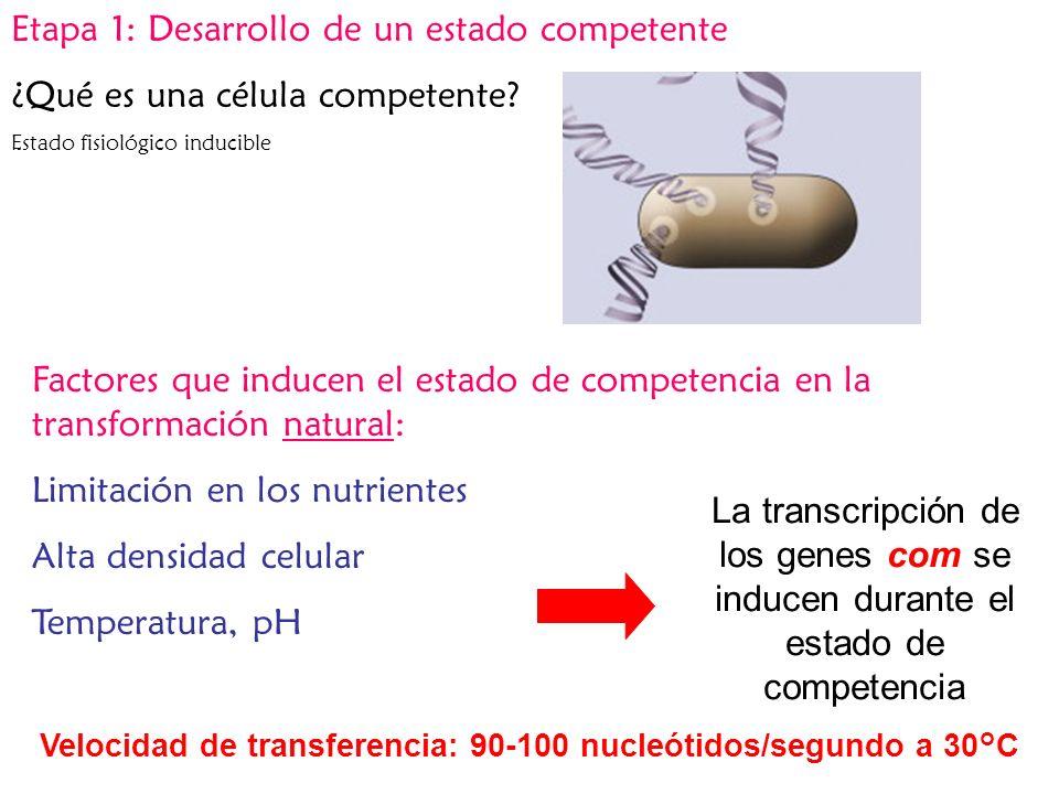 Velocidad de transferencia: 90-100 nucleótidos/segundo a 30°C
