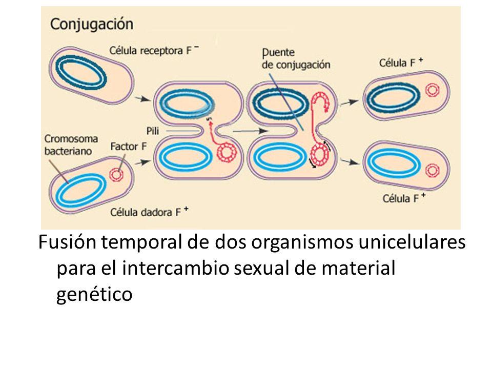 Fusión temporal de dos organismos unicelulares para el intercambio sexual de material genético