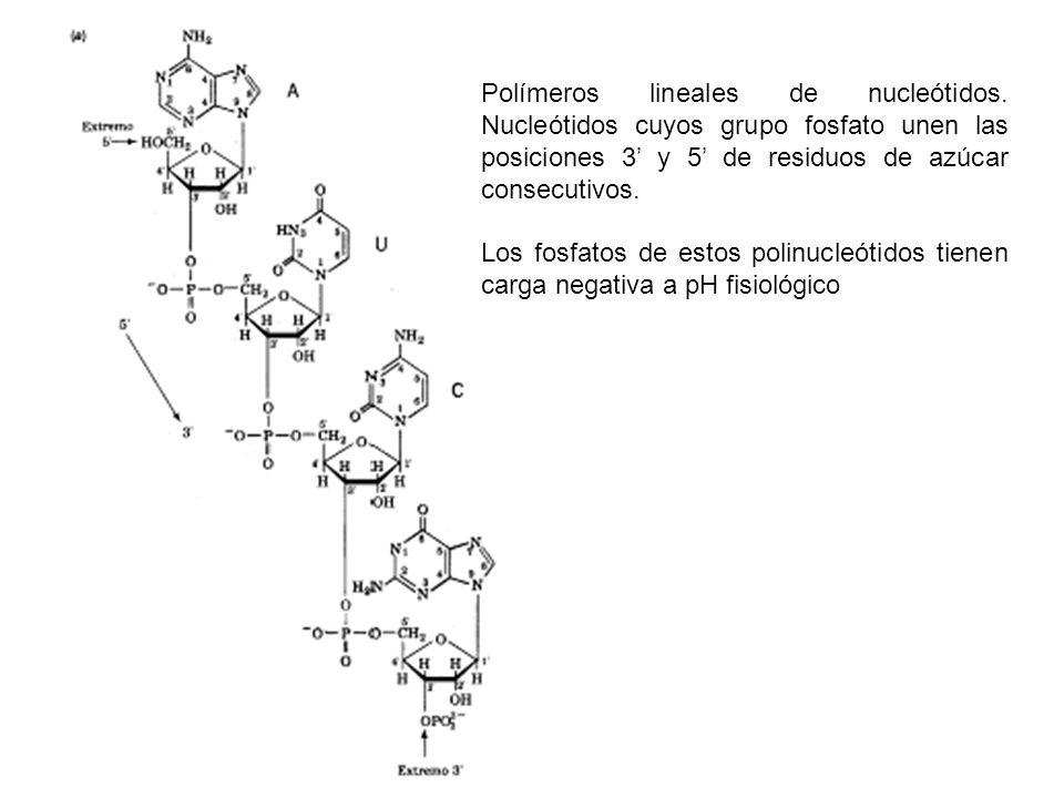 Polímeros lineales de nucleótidos