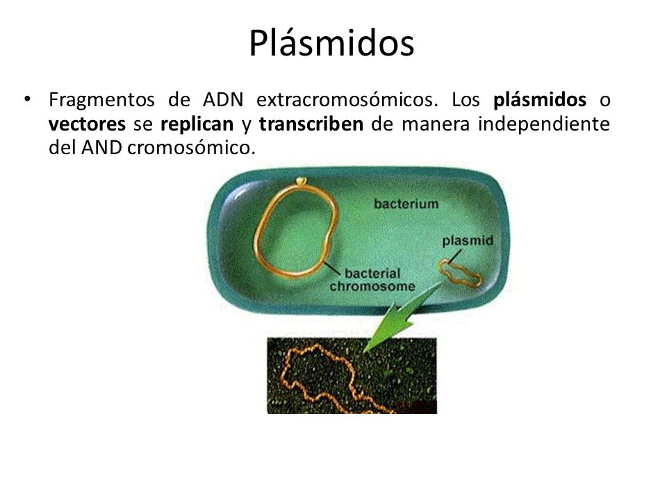 PlásmidosFragmentos de ADN extracromosómicos.