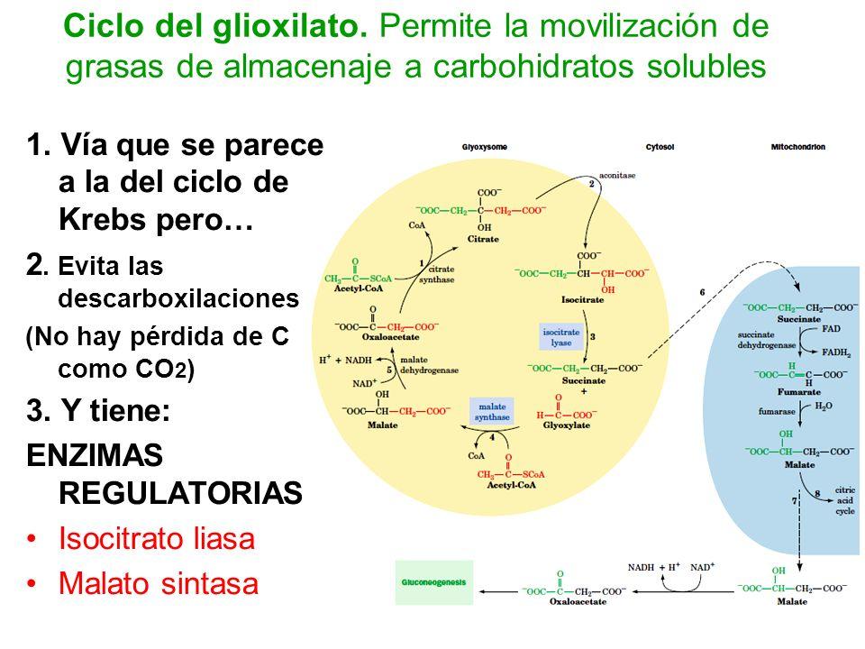Ciclo del glioxilato. Permite la movilización de grasas de almacenaje a carbohidratos solubles