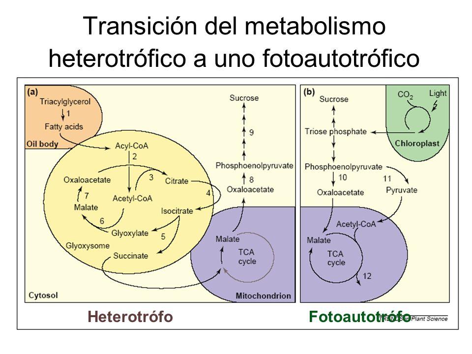 Transición del metabolismo heterotrófico a uno fotoautotrófico
