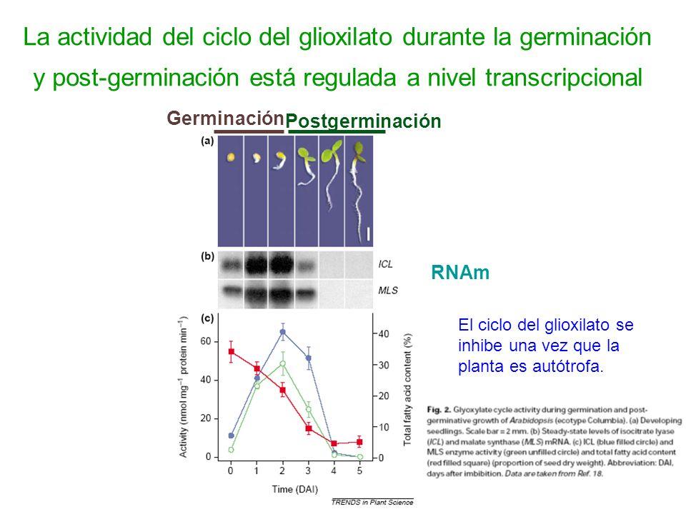 La actividad del ciclo del glioxilato durante la germinación y post-germinación está regulada a nivel transcripcional