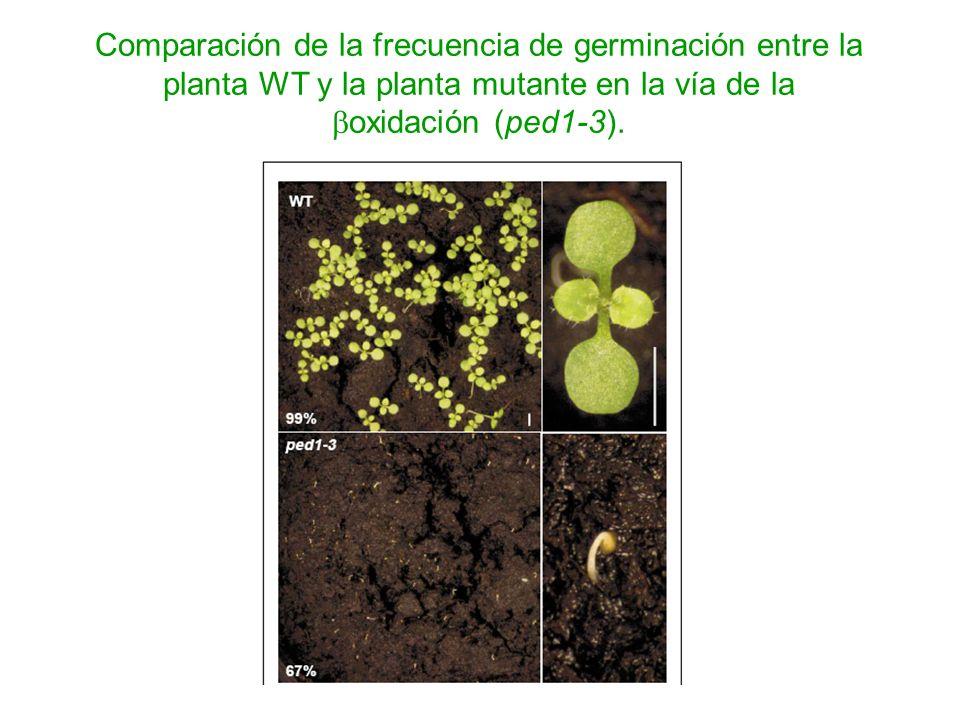 Comparación de la frecuencia de germinación entre la planta WT y la planta mutante en la vía de la boxidación (ped1-3).