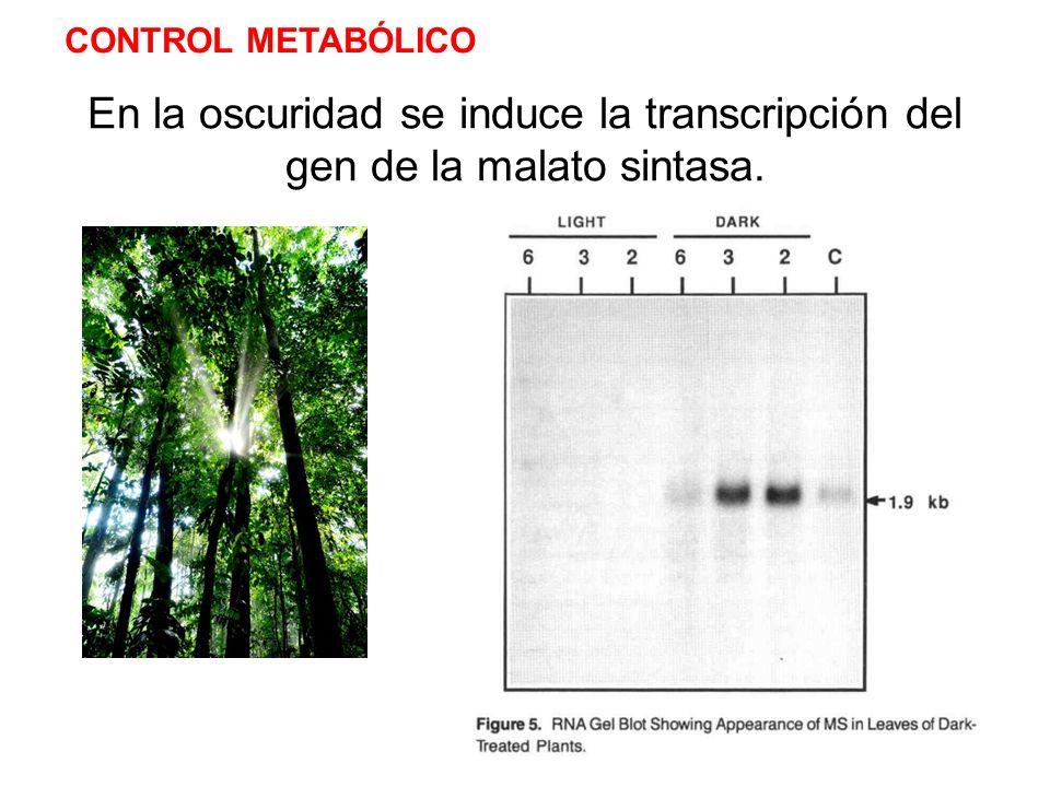 CONTROL METABÓLICO En la oscuridad se induce la transcripción del gen de la malato sintasa.