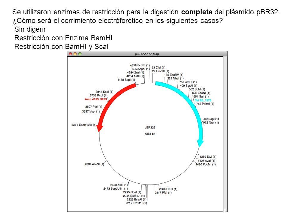Se utilizaron enzimas de restricción para la digestión completa del plásmido pBR32.
