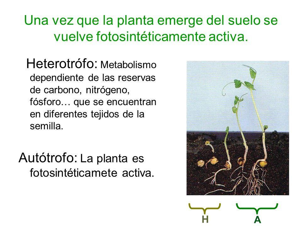 Autótrofo: La planta es fotosintéticamete activa.
