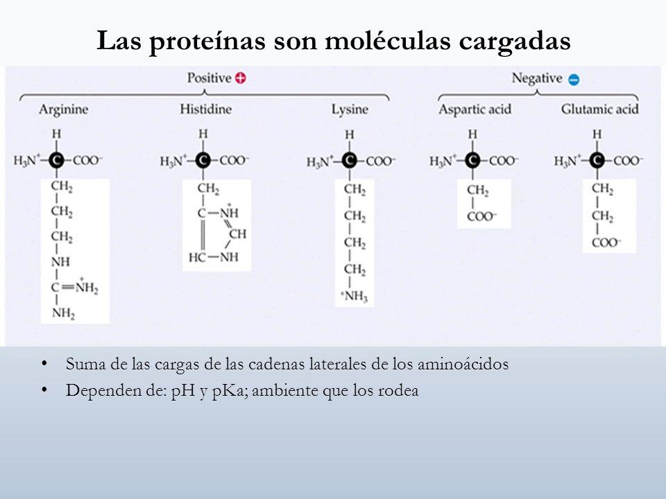 Las proteínas son moléculas cargadas