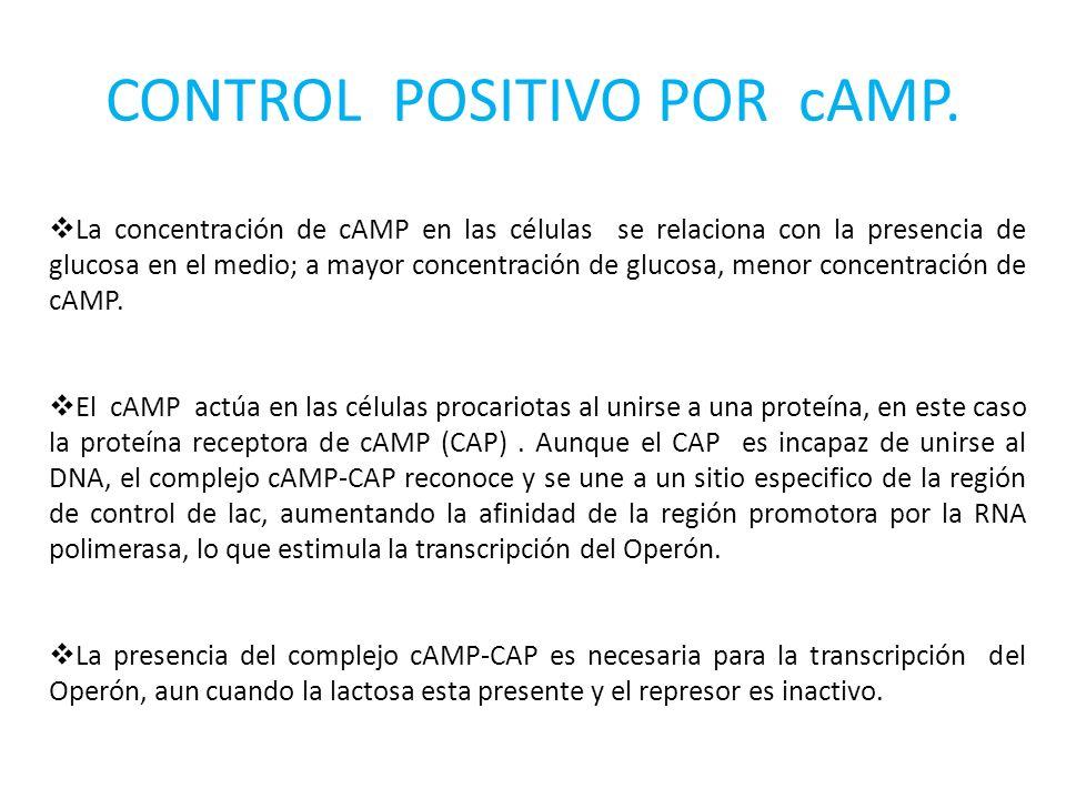 CONTROL POSITIVO POR cAMP.
