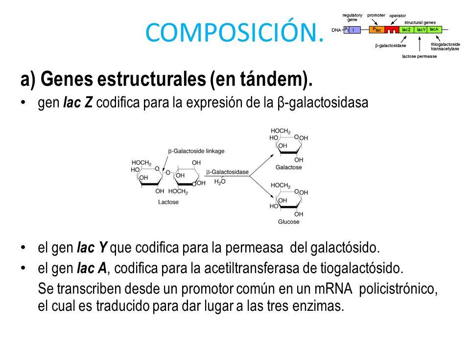 COMPOSICIÓN. a) Genes estructurales (en tándem).