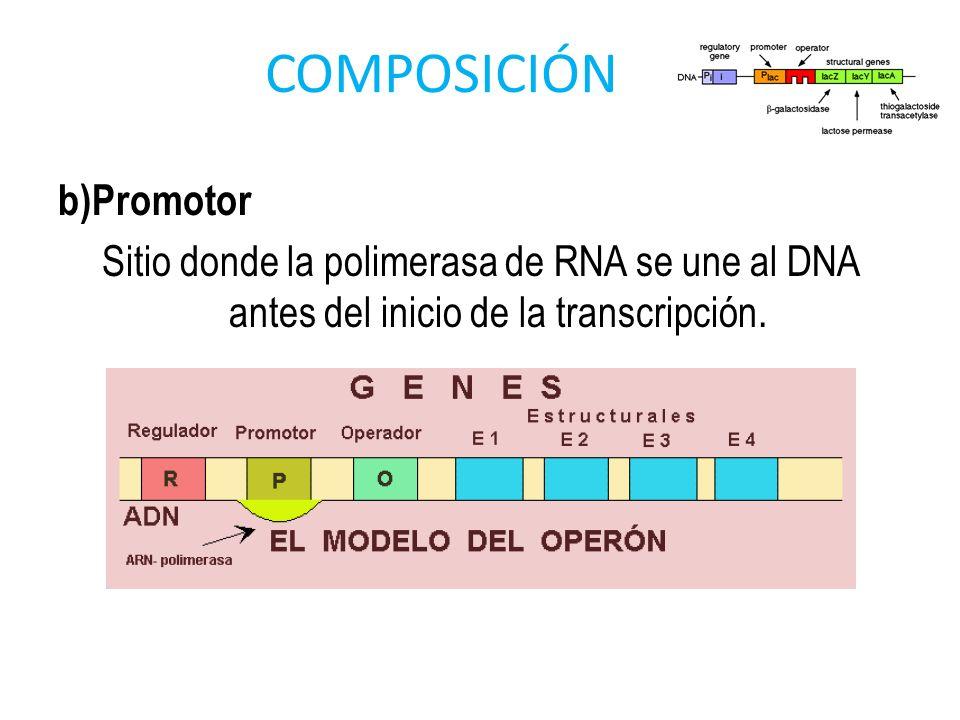 COMPOSICIÓN b)Promotor Sitio donde la polimerasa de RNA se une al DNA antes del inicio de la transcripción.