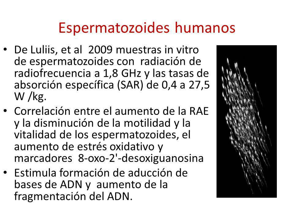 Espermatozoides humanos