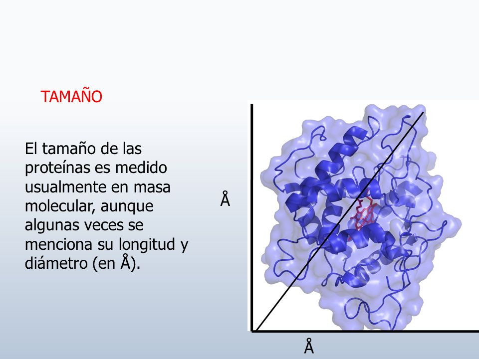 TAMAÑO El tamaño de las proteínas es medido usualmente en masa molecular, aunque algunas veces se menciona su longitud y diámetro (en Å).