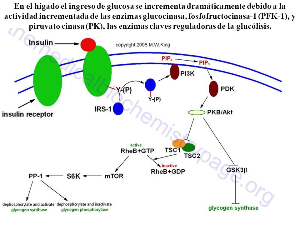 En el hígado el ingreso de glucosa se incrementa dramáticamente debido a la actividad incrementada de las enzimas glucocinasa, fosfofructocinasa-1 (PFK-1), y piruvato cinasa (PK), las enzimas claves reguladoras de la glucólisis.