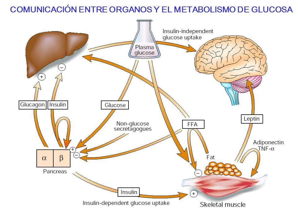 COMUNICACIÓN ENTRE ORGANOS Y EL METABOLISMO DE GLUCOSA