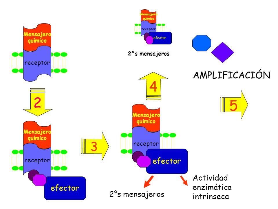 4 2 5 3 AMPLIFICACIÓN efector Actividad enzimática efector intrínseca