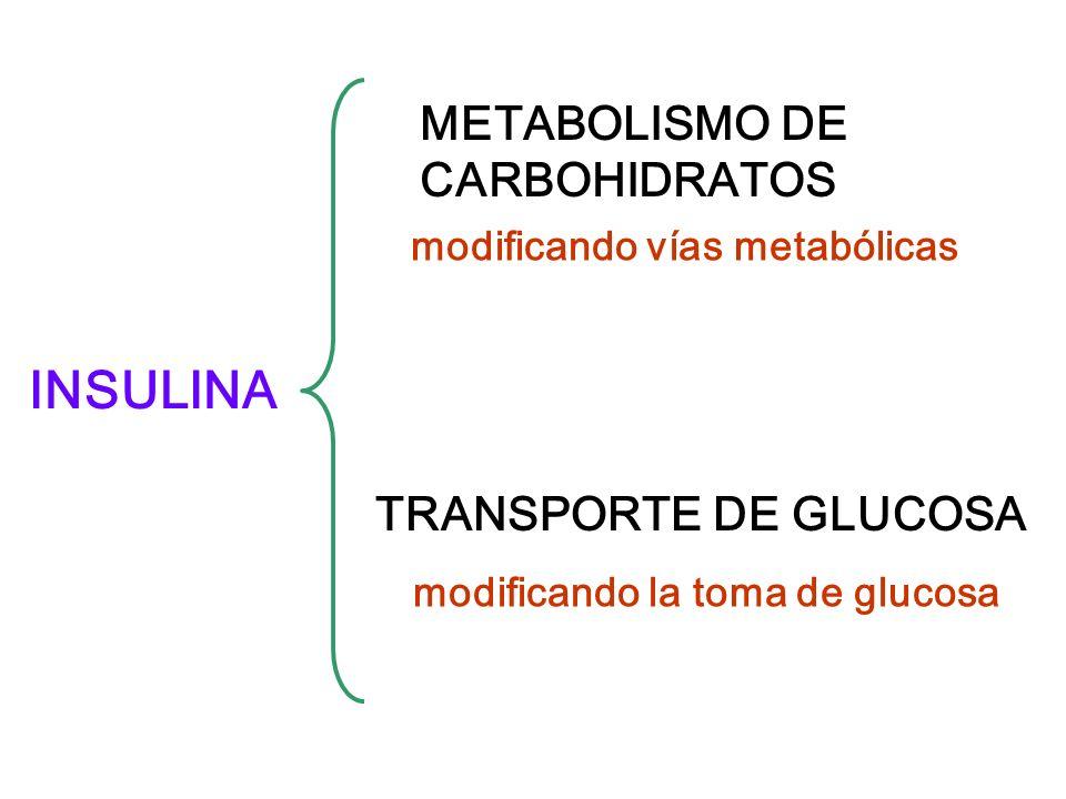 INSULINA METABOLISMO DE CARBOHIDRATOS TRANSPORTE DE GLUCOSA