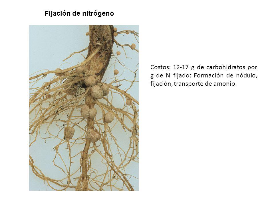 Fijación de nitrógeno Costos: 12-17 g de carbohidratos por g de N fijado: Formación de nódulo, fijación, transporte de amonio.