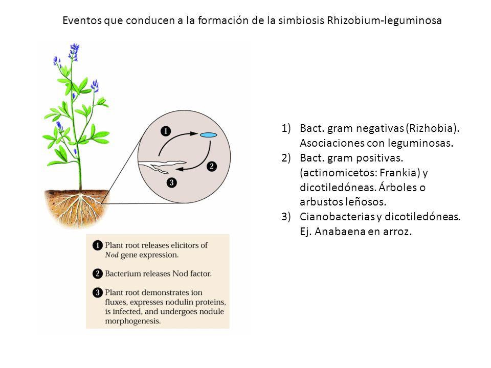 Bact. gram negativas (Rizhobia). Asociaciones con leguminosas.