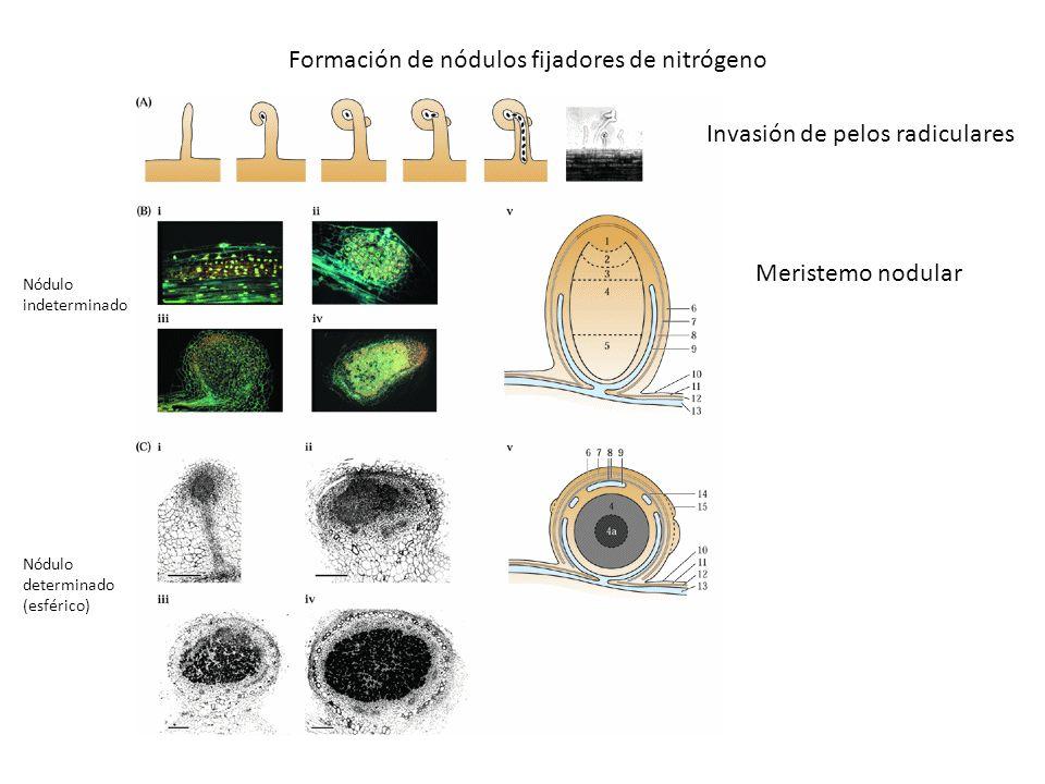 Formación de nódulos fijadores de nitrógeno