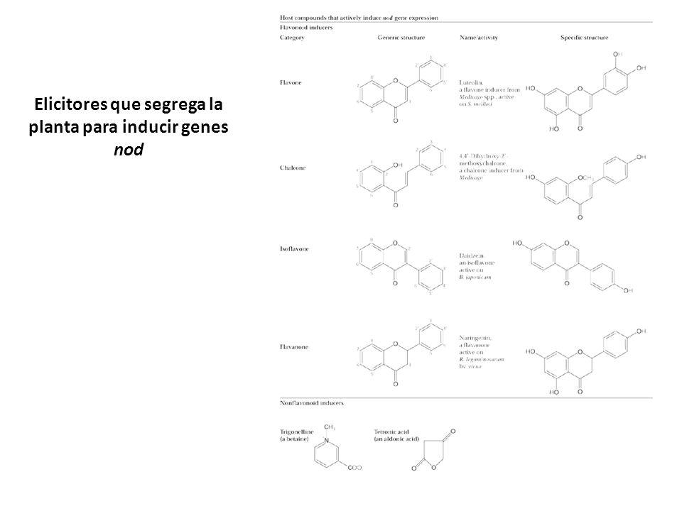 Elicitores que segrega la planta para inducir genes nod