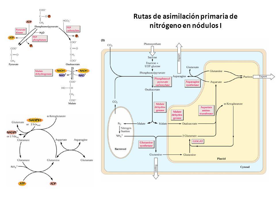 Rutas de asimilación primaria de nitrógeno en nódulos I