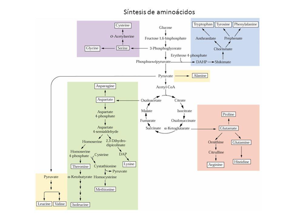 Síntesis de aminoácidos