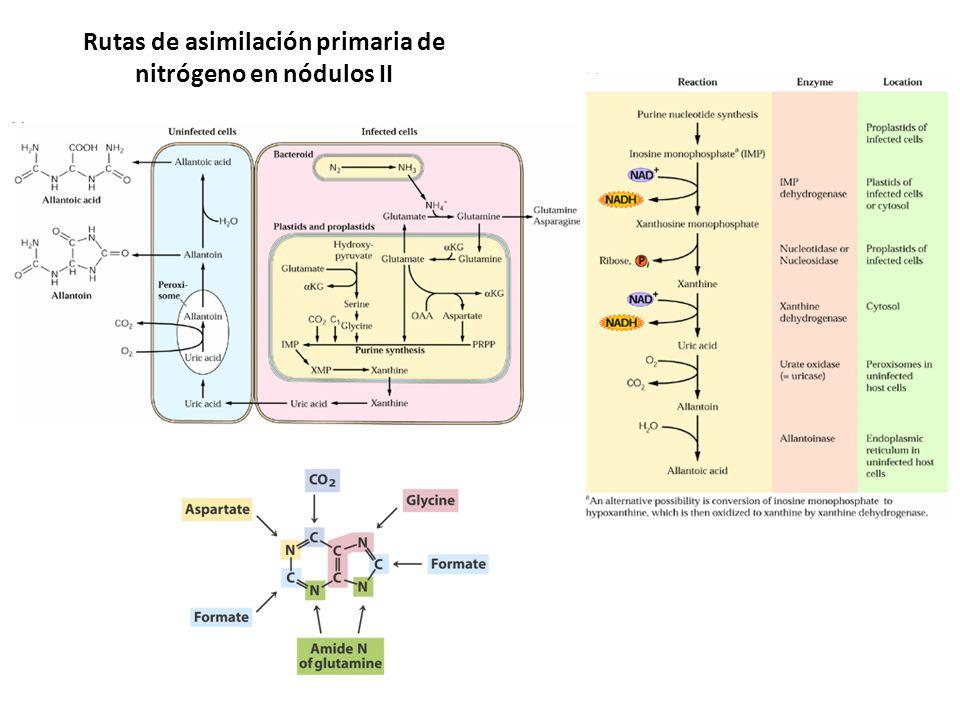 Rutas de asimilación primaria de nitrógeno en nódulos II