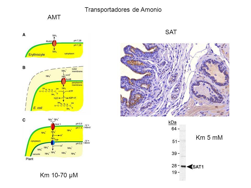 Transportadores de Amonio