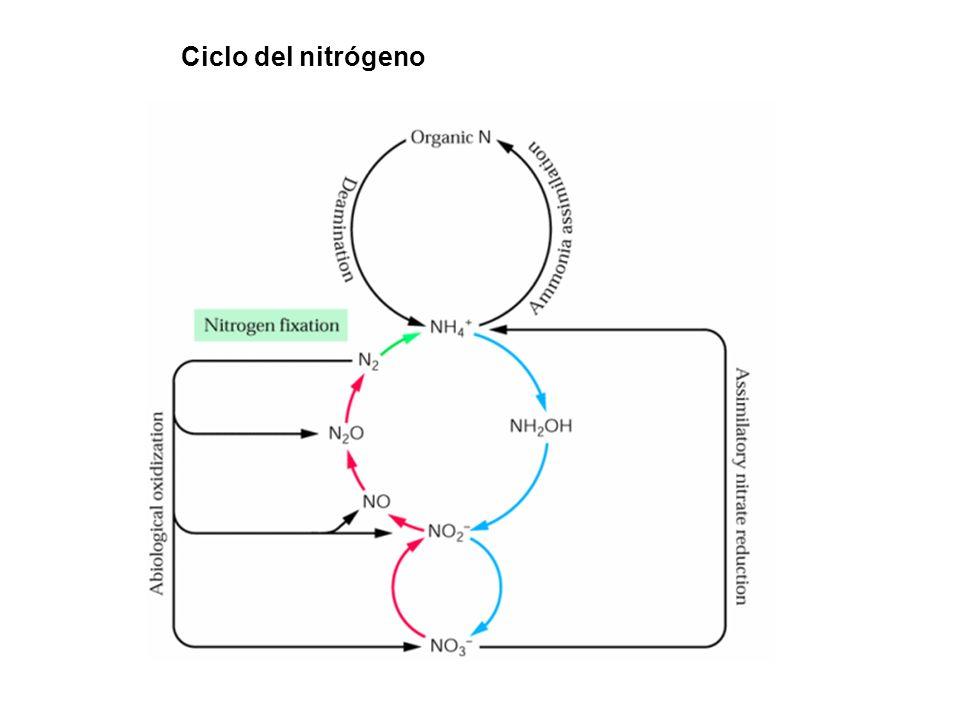 Ciclo del nitrógeno 8