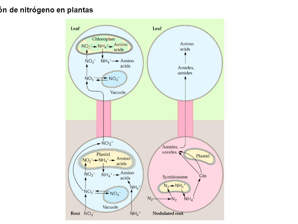 Panorama general de asimilación de nitrógeno en plantas
