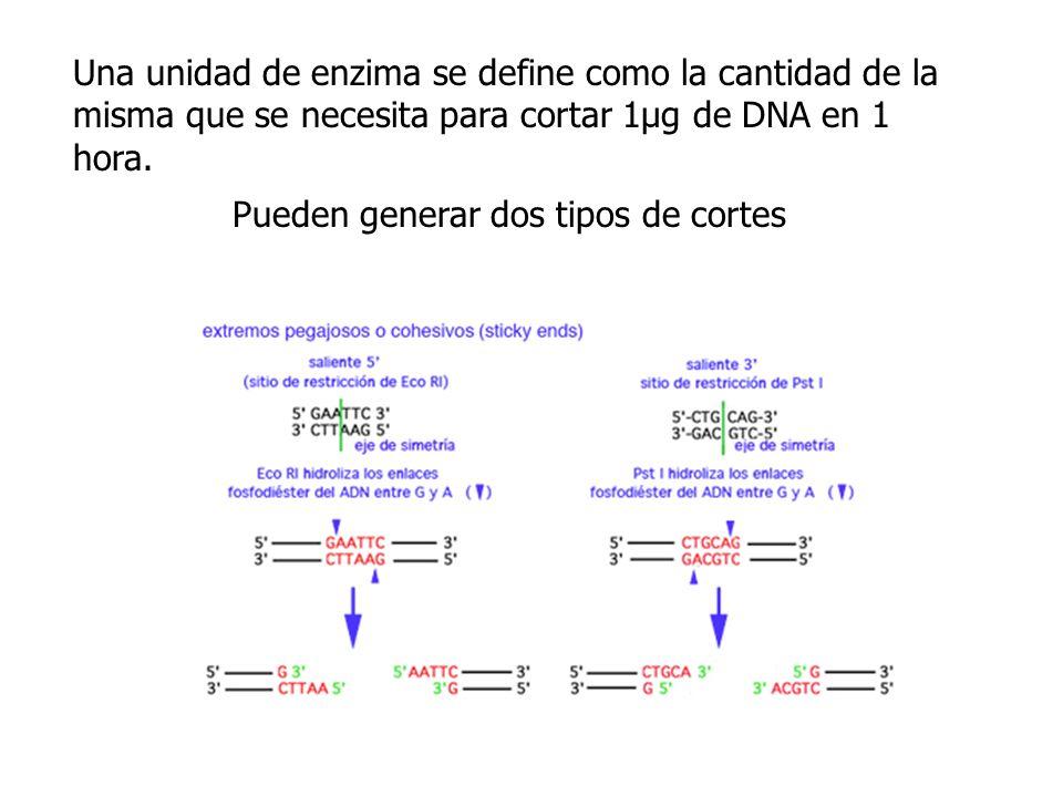 Una unidad de enzima se define como la cantidad de la misma que se necesita para cortar 1µg de DNA en 1 hora.