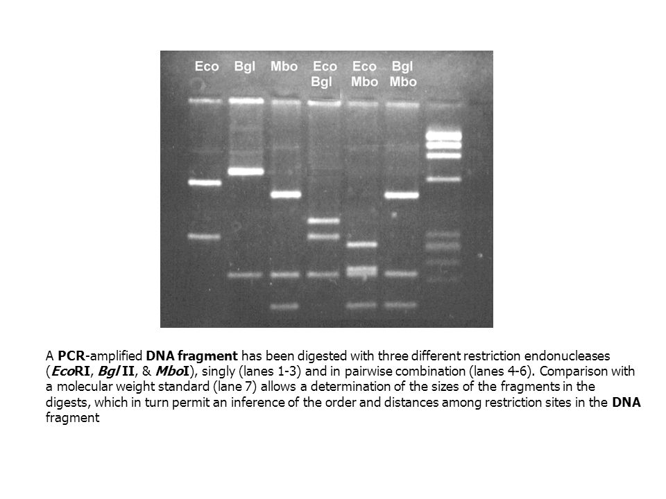 A PCR-amplified DNA fragment has been digested with three different restriction endonucleases (EcoRI, Bgl II, & MboI), singly (lanes 1-3) and in pairwise combination (lanes 4-6).