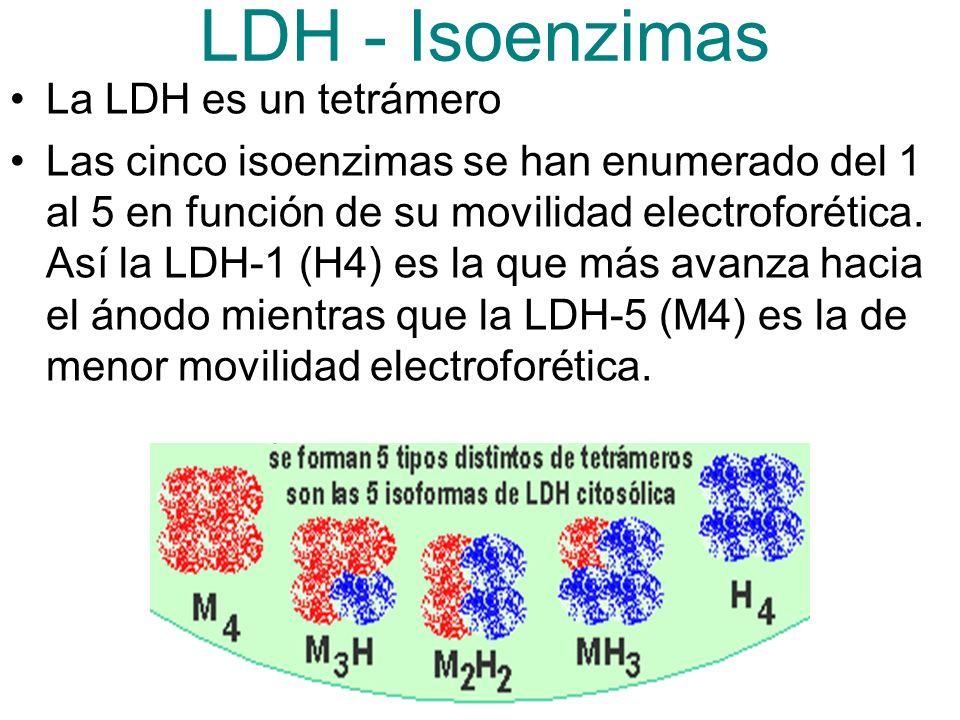 LDH - Isoenzimas La LDH es un tetrámero