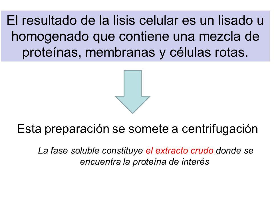 El resultado de la lisis celular es un lisado u homogenado que contiene una mezcla de proteínas, membranas y células rotas.