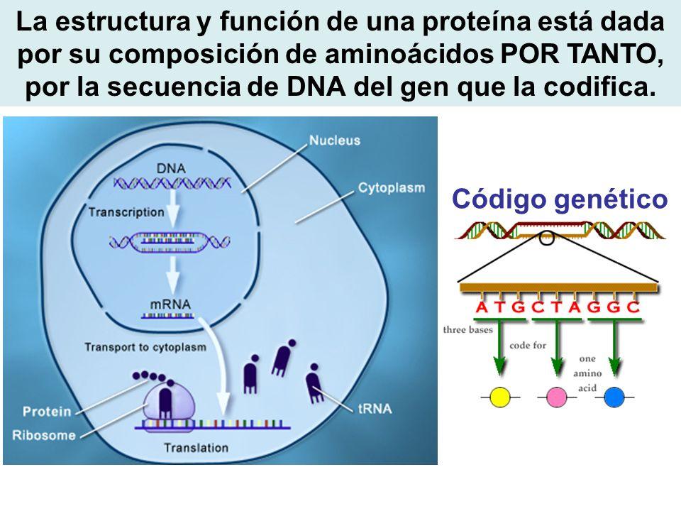 La estructura y función de una proteína está dada por su composición de aminoácidos POR TANTO, por la secuencia de DNA del gen que la codifica.