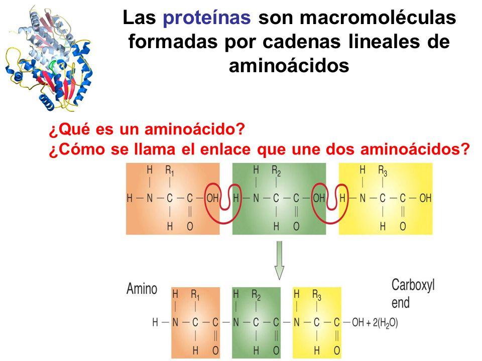 Las proteínas son macromoléculas formadas por cadenas lineales de aminoácidos