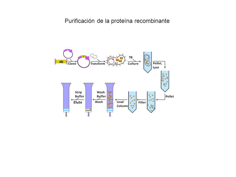 Purificación de la proteína recombinante