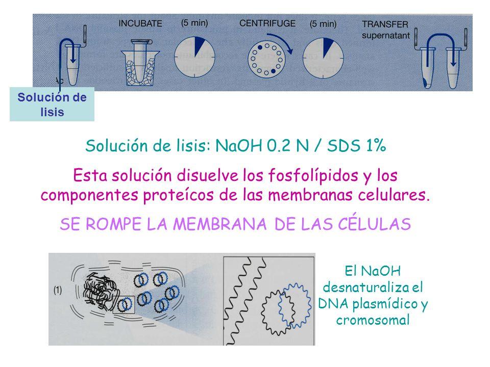 Solución de lisis: NaOH 0.2 N / SDS 1%