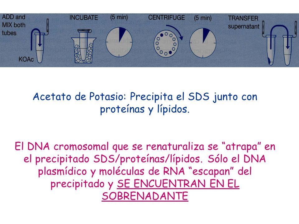 Acetato de Potasio: Precipita el SDS junto con proteínas y lípidos.