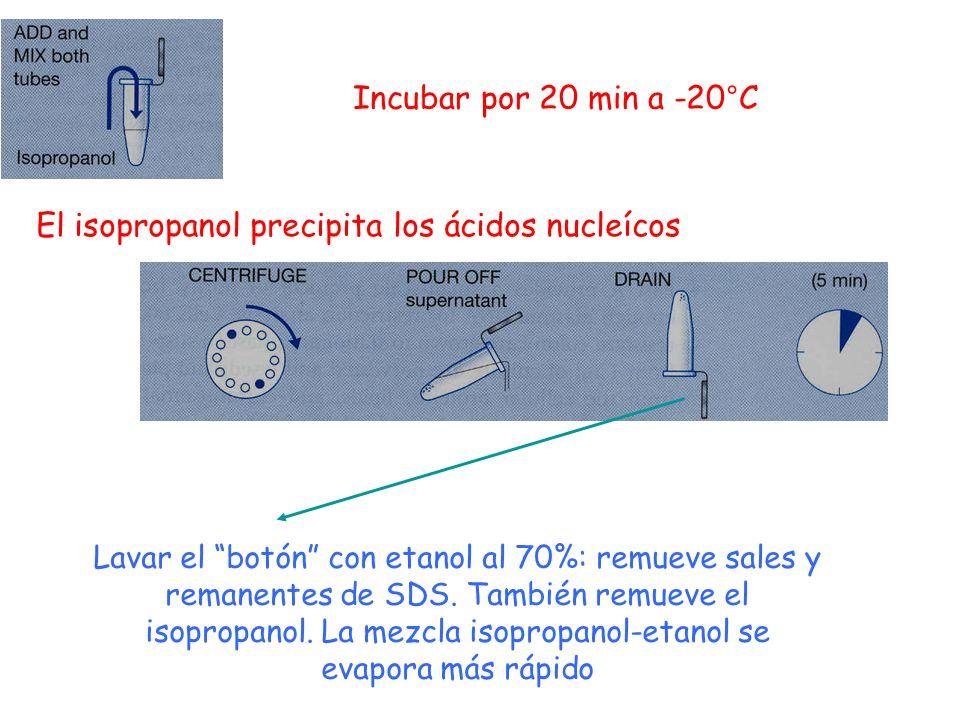 El isopropanol precipita los ácidos nucleícos