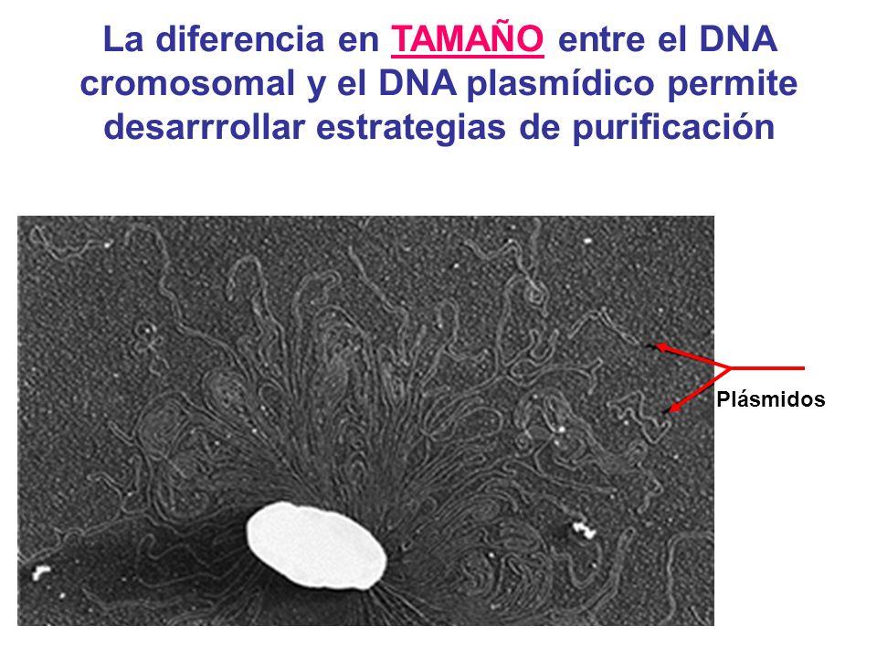 La diferencia en TAMAÑO entre el DNA cromosomal y el DNA plasmídico permite desarrrollar estrategias de purificación