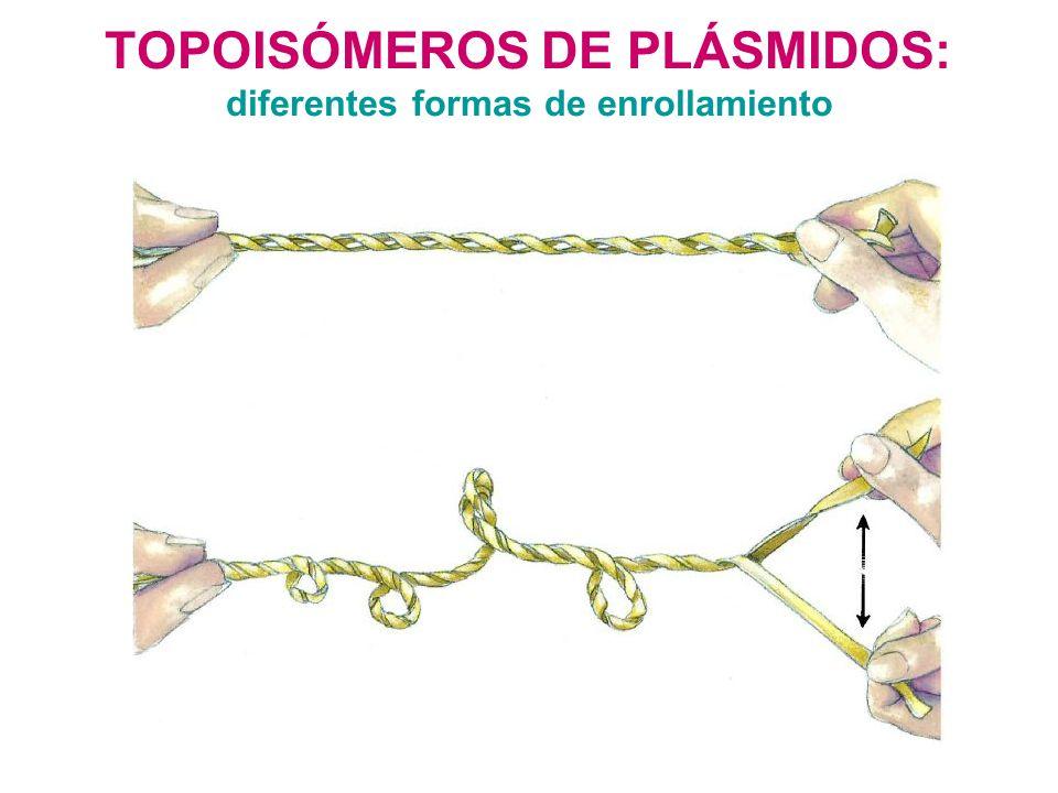 TOPOISÓMEROS DE PLÁSMIDOS: diferentes formas de enrollamiento