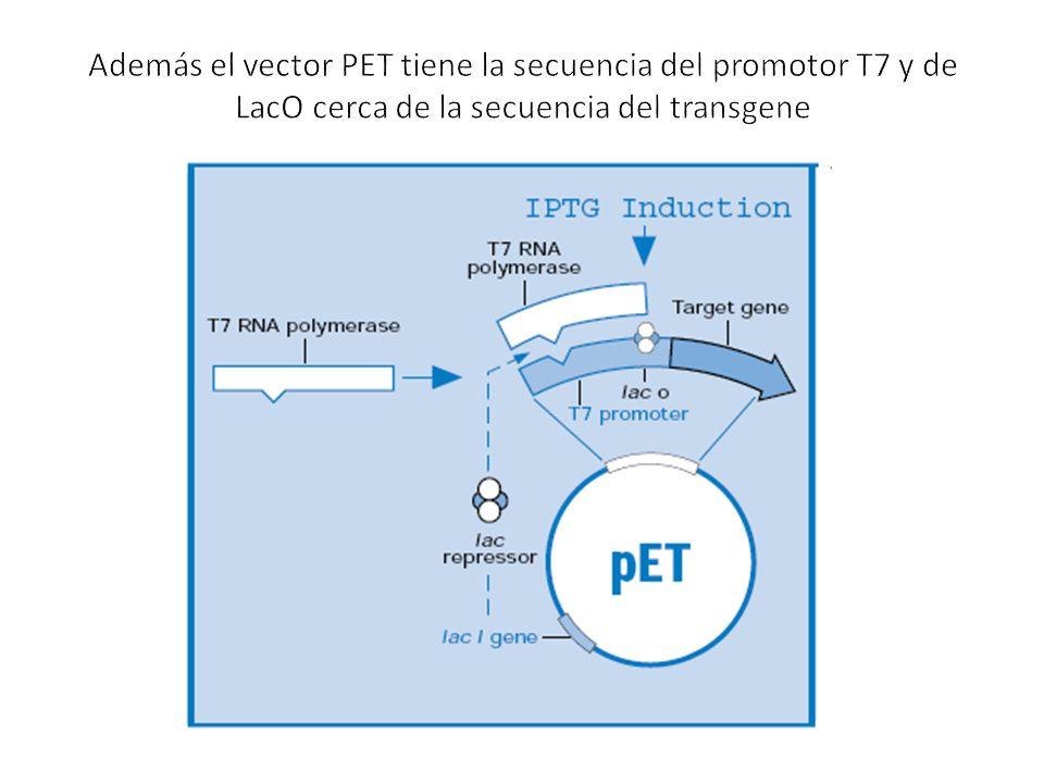 Además el vector PET tiene la secuencia del promotor T7 y de LacO cerca de la secuencia del transgene