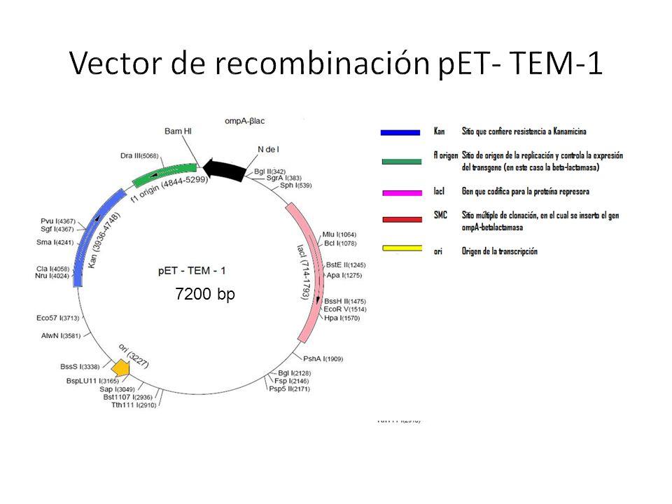 Vector de recombinación pET- TEM-1
