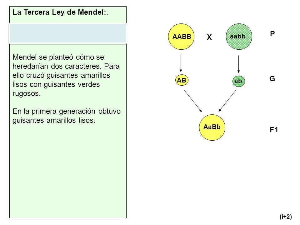 La Tercera Ley de Mendel:.